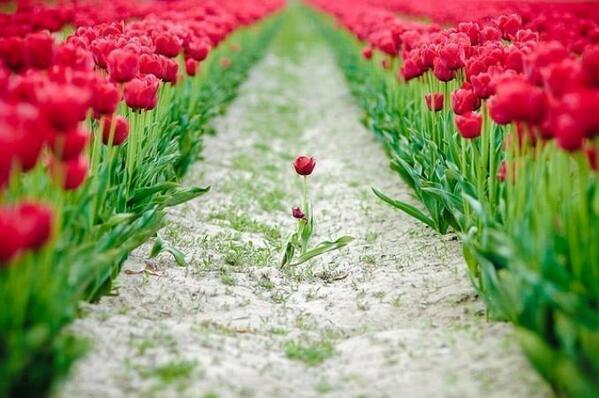 Eenzame tulp